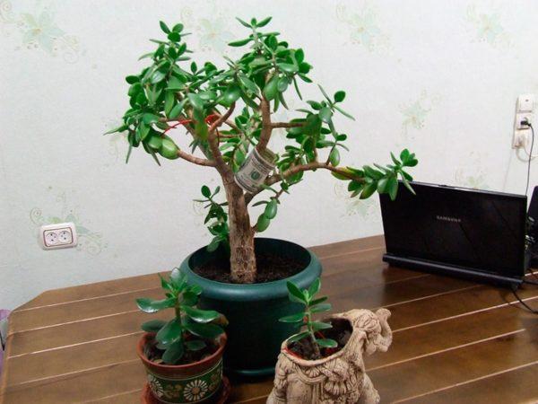 Хитрости правильного выращивания денежного дерева, которые помогут привлечь финансы в ваш дом
